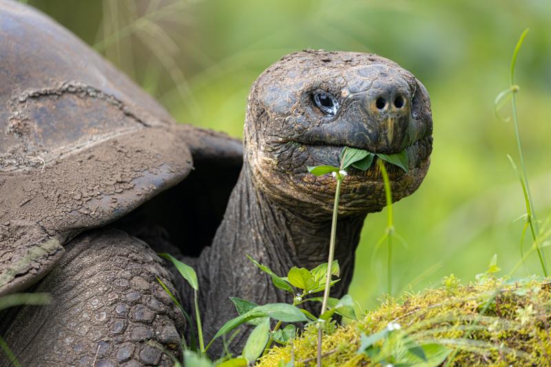 Giant Tortoise, Ecuador