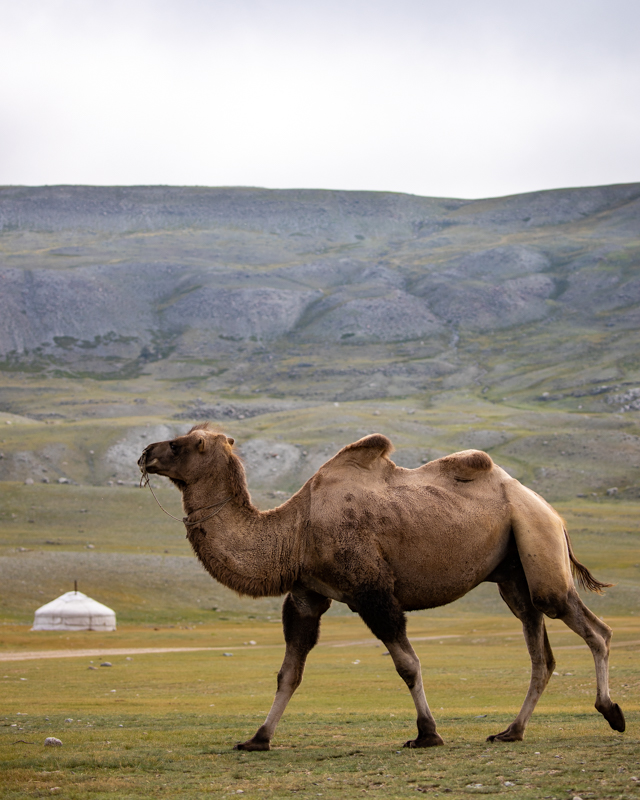 Western Mongolia Camel