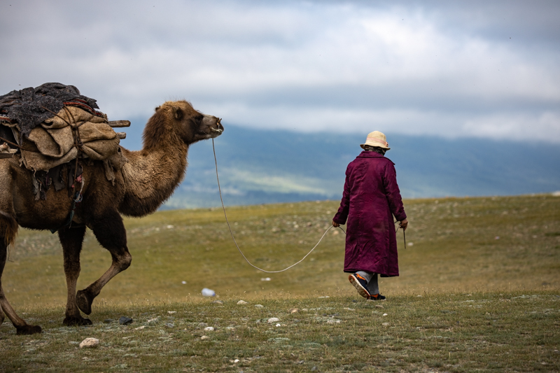 Western Mongolia camel caravan
