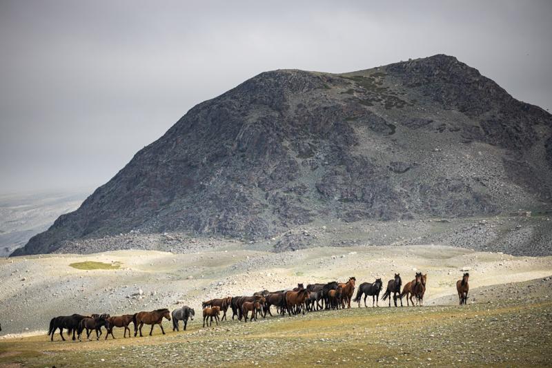 Western Mongolian Horses